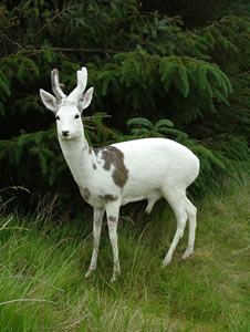 White Roe Buck